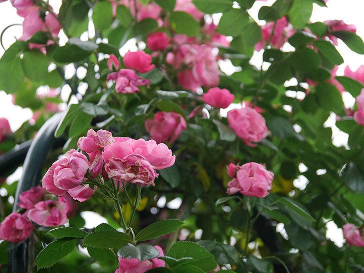 アンジェラ(ツルバラ)の花がたくさん咲いた。2020年-036.jpg