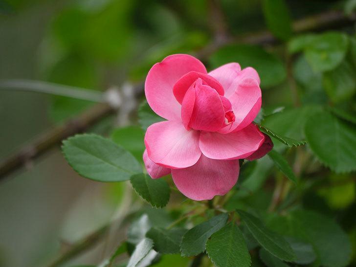 アンジェラ(ツルバラ)の花がポツポツ咲きだした。2018年-12.jpg