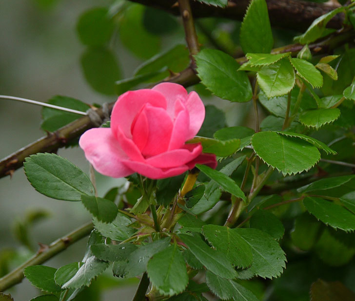 アンジェラ(ツルバラ)の花がポツポツ咲きだした。2018年-4.jpg