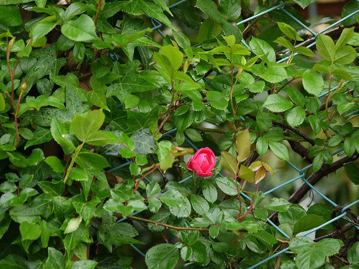 アンジェラ(ツルバラ)の花がポツポツ咲きだした。2018年-5.jpg