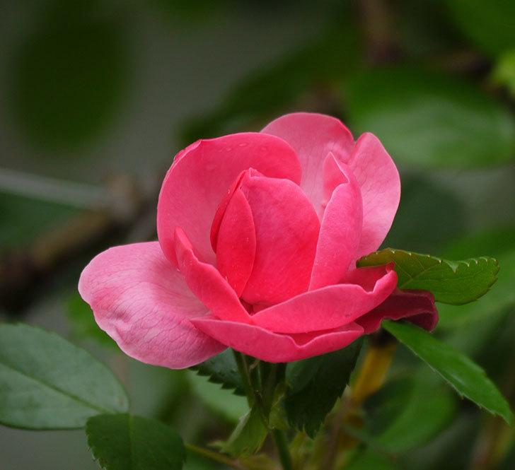 アンジェラ(ツルバラ)の花がポツポツ咲きだした。2018年-8.jpg