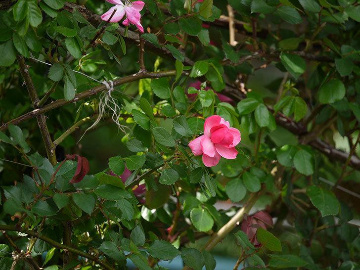 アンジェラ(ツルバラ)の花がポツポツ咲きだした。2018年-9.jpg