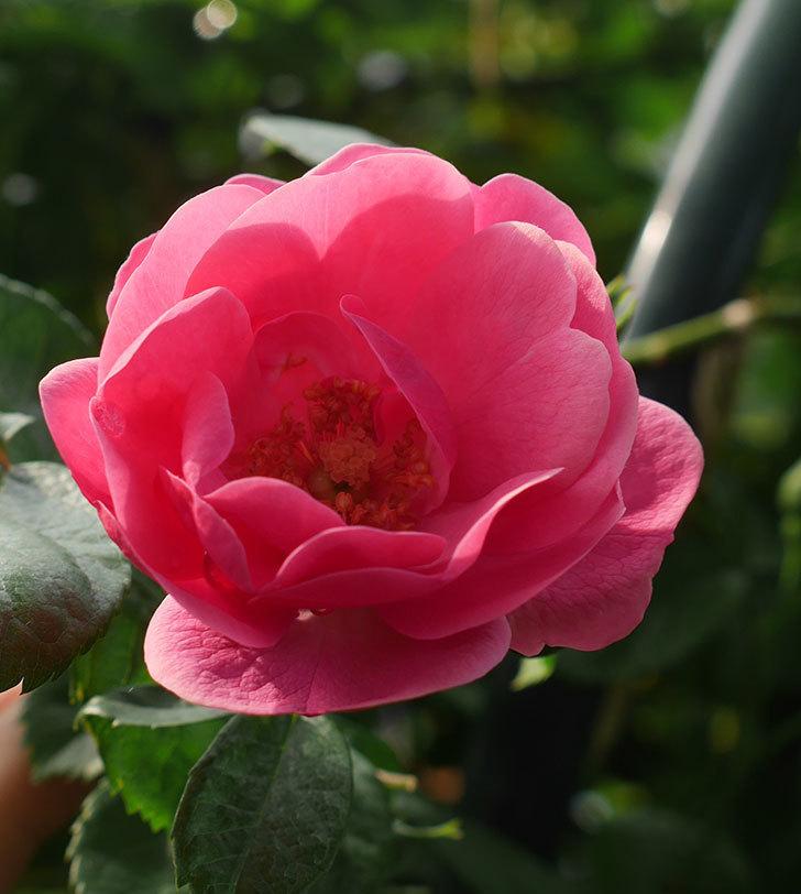 アンジェラ(ツルバラ)の花が咲いた。2020年-1.jpg