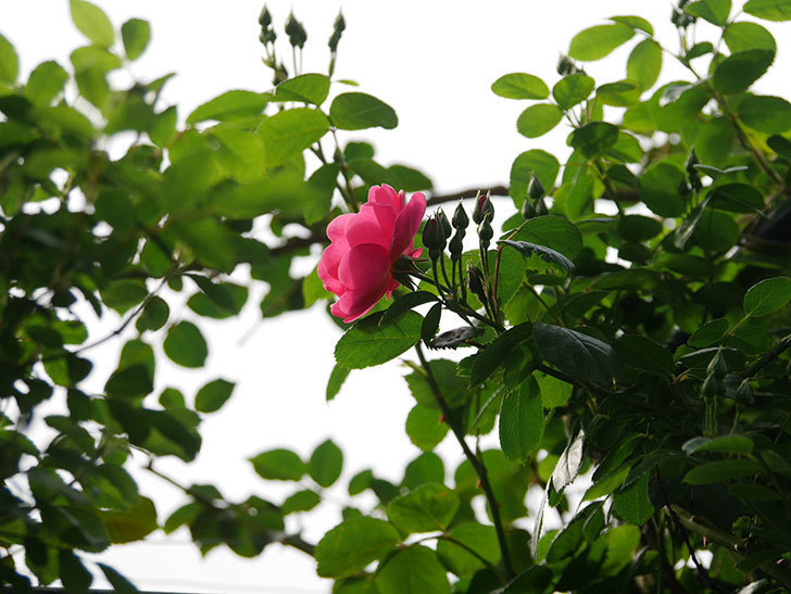 アンジェラ(ツルバラ)の花が咲いた。2020年-2.jpg