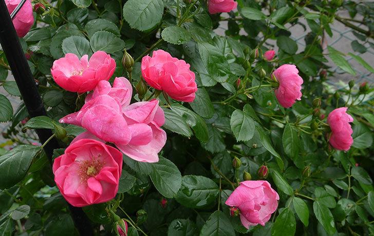 アンジェラ(ツルバラ)の花が増えてきた。2016年-5.jpg