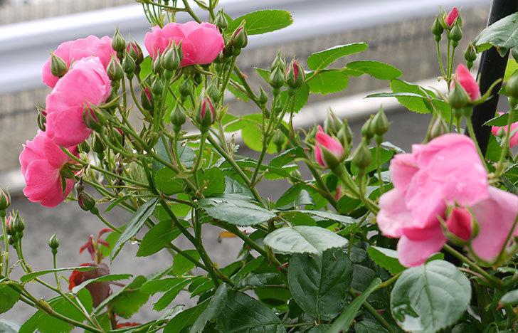 アンジェラ(ツルバラ)の花が増えてきた。2016年-6.jpg