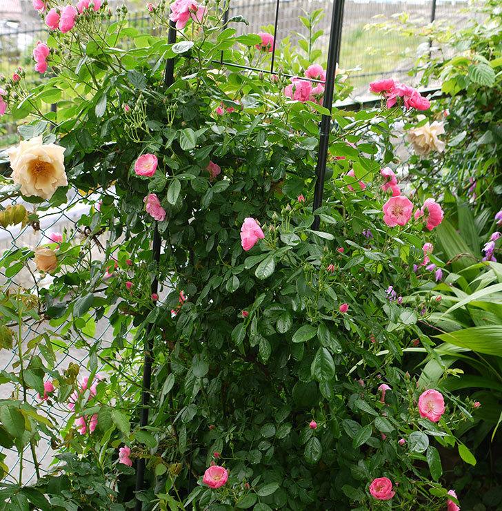 アンジェラ(ツルバラ)の花が増えてきた。2016年-9.jpg