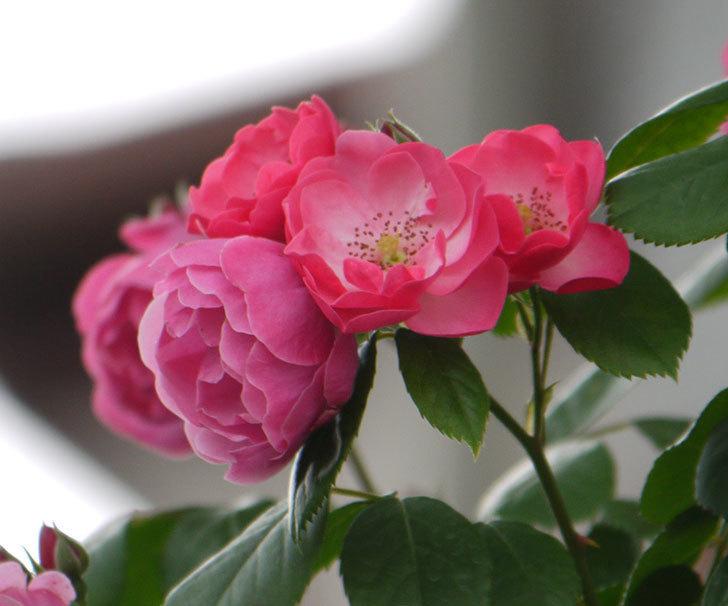 アンジェラ(ツルバラ)の花が増えてきた。2017年-10.jpg