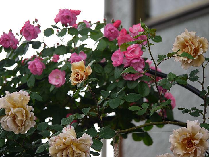アンジェラ(ツルバラ)の花が増えてきた。2017年-11.jpg