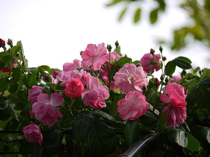 アンジェラ(ツルバラ)の花が増えてきた。2017年-12.jpg