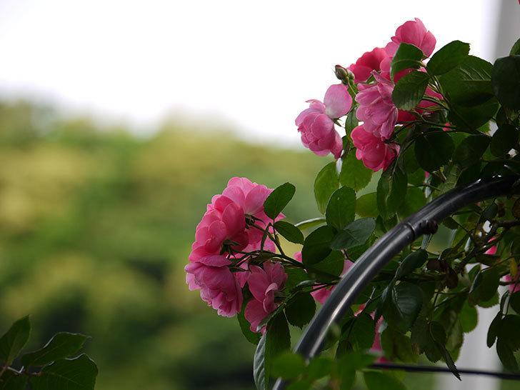 アンジェラ(ツルバラ)の花が増えてきた。2017年-13.jpg