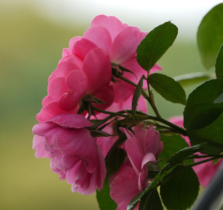 アンジェラ(ツルバラ)の花が増えてきた。2017年-14.jpg
