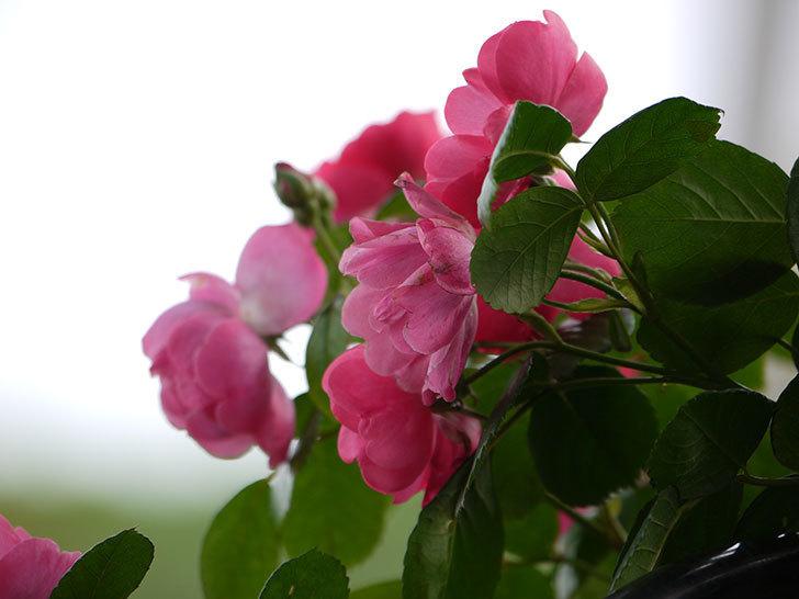 アンジェラ(ツルバラ)の花が増えてきた。2017年-15.jpg