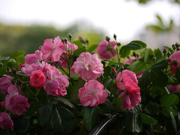 アンジェラ(ツルバラ)の花が増えてきた。2017年-16.jpg