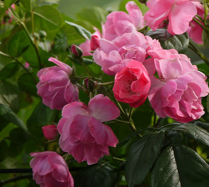 アンジェラ(ツルバラ)の花が増えてきた。2017年-17.jpg