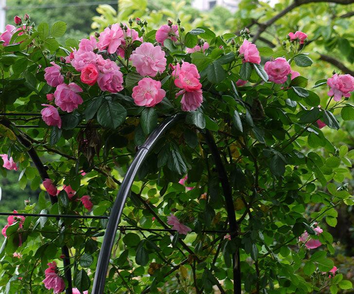 アンジェラ(ツルバラ)の花が増えてきた。2017年-18.jpg