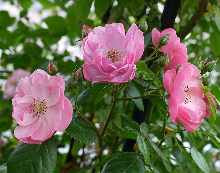 アンジェラ(ツルバラ)の花が増えてきた。2017年-19.jpg