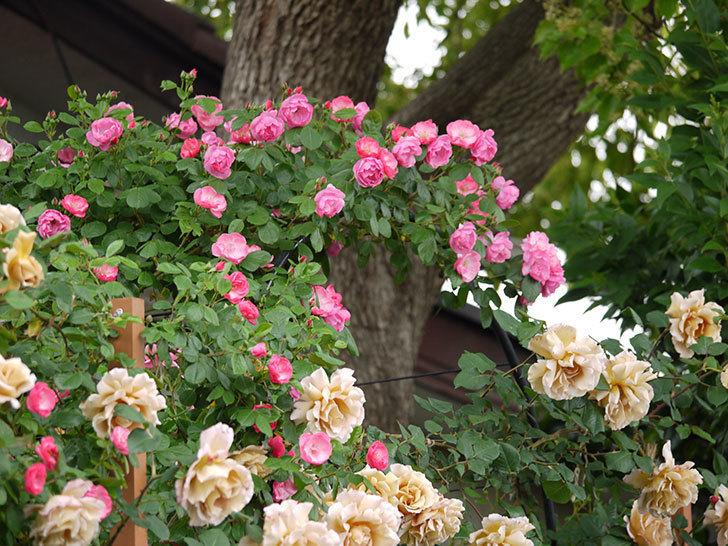 アンジェラ(ツルバラ)の花が増えてきた。2017年-2.jpg