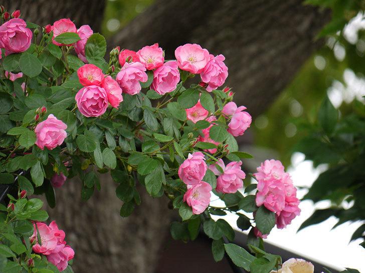 アンジェラ(ツルバラ)の花が増えてきた。2017年-5.jpg