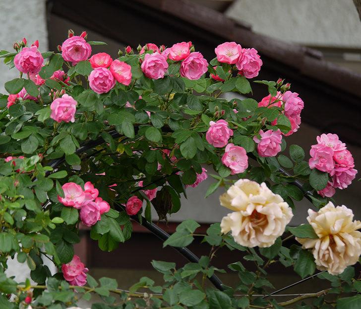 アンジェラ(ツルバラ)の花が増えてきた。2017年-6.jpg