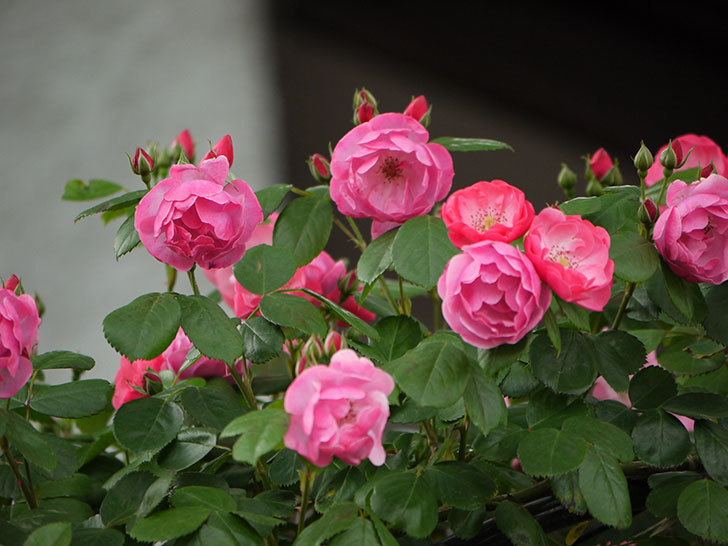 アンジェラ(ツルバラ)の花が増えてきた。2017年-7.jpg