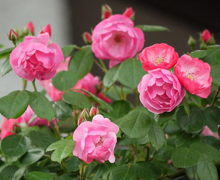 アンジェラ(ツルバラ)の花が増えてきた。2017年-8.jpg