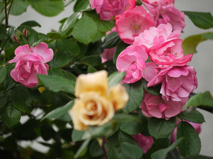 アンジェラ(ツルバラ)の花が増えてきた。2017年-9.jpg