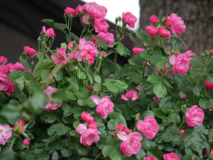 アンジェラ(ツルバラ)の花が増えてきた。2018年-1.jpg