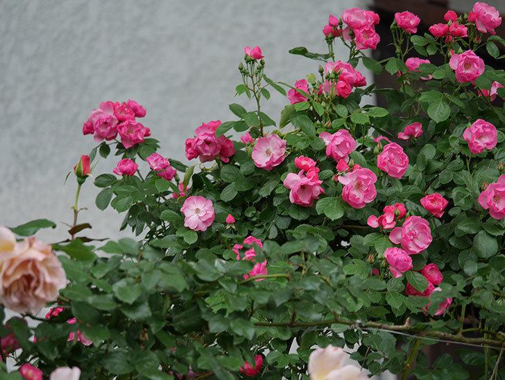 アンジェラ(ツルバラ)の花が増えてきた。2018年-10.jpg