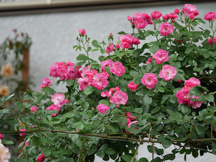 アンジェラ(ツルバラ)の花が増えてきた。2018年-13.jpg