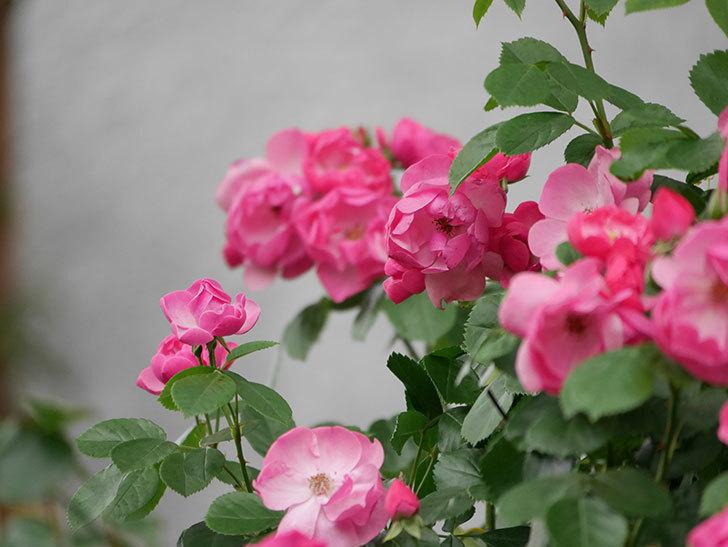アンジェラ(ツルバラ)の花が増えてきた。2018年-14.jpg