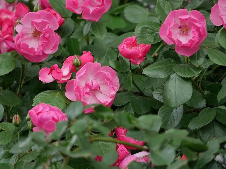 アンジェラ(ツルバラ)の花が増えてきた。2018年-15.jpg