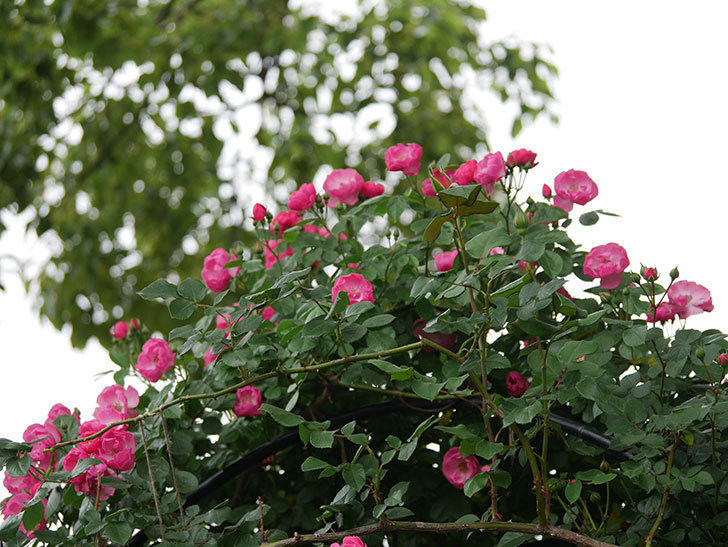 アンジェラ(ツルバラ)の花が増えてきた。2018年-16.jpg