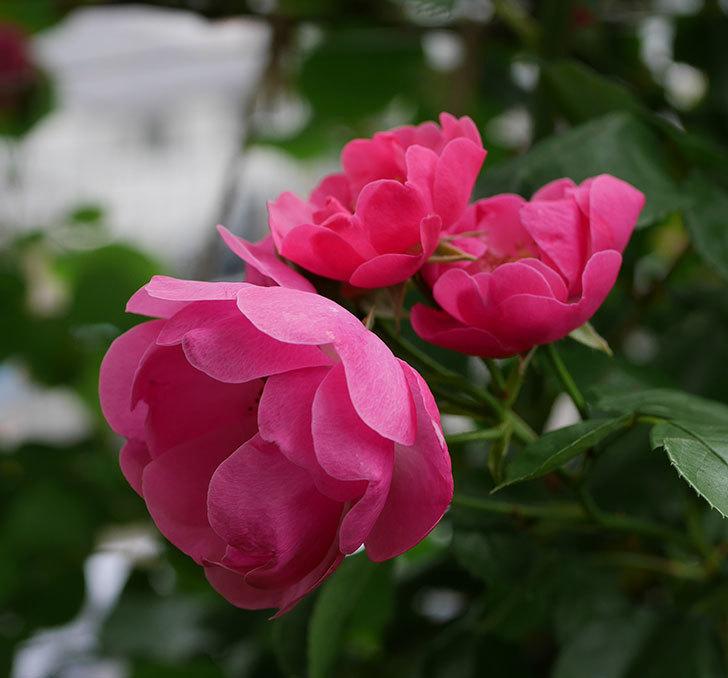 アンジェラ(ツルバラ)の花が増えてきた。2018年-18.jpg