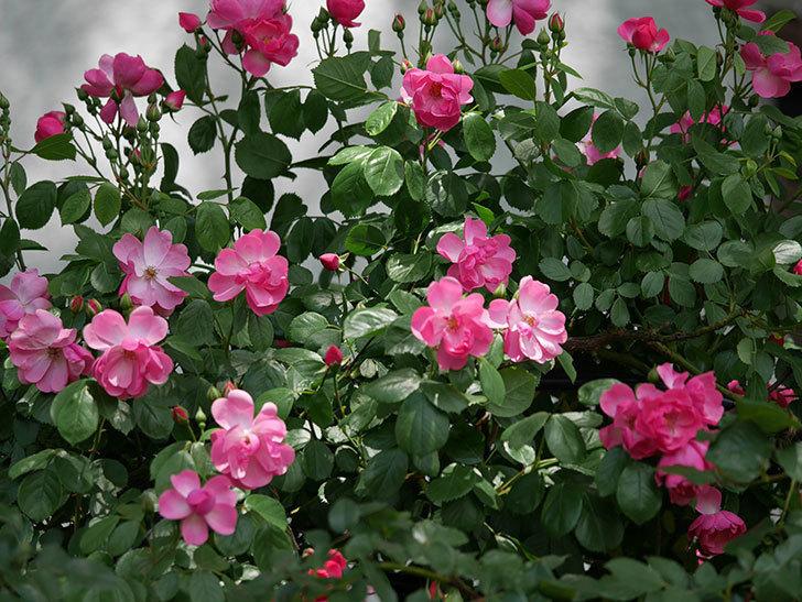 アンジェラ(ツルバラ)の花が増えてきた。2018年-19.jpg