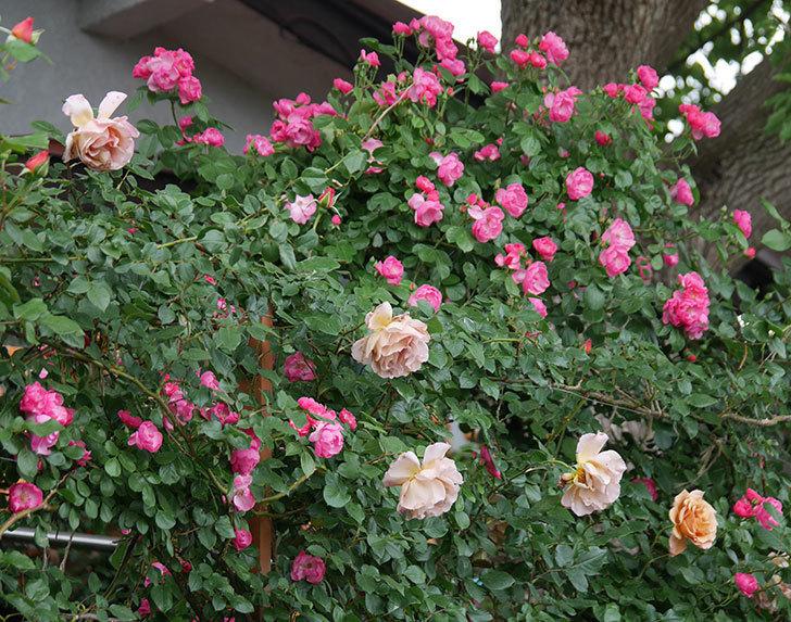 アンジェラ(ツルバラ)の花が増えてきた。2018年-2.jpg