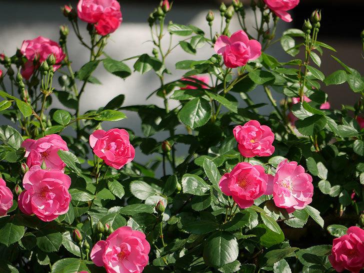 アンジェラ(ツルバラ)の花が増えてきた。2018年-23.jpg