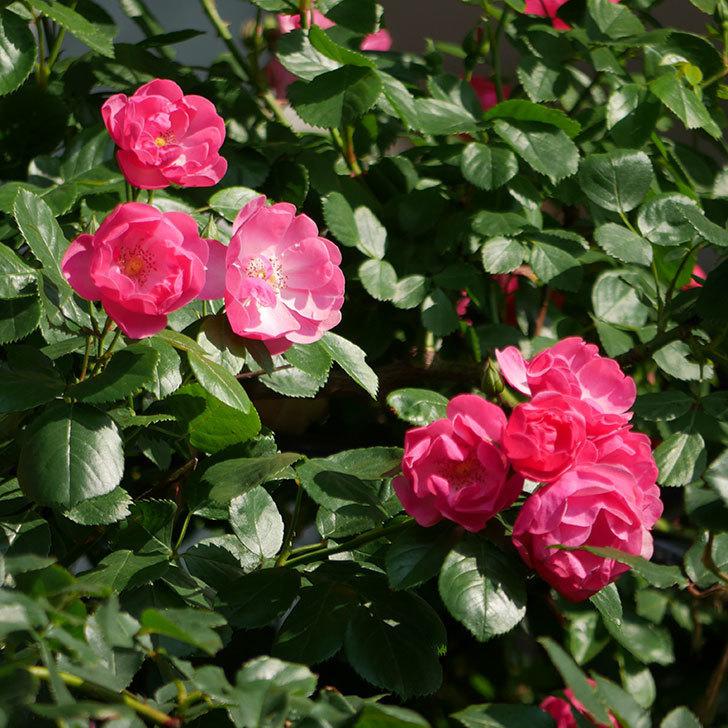 アンジェラ(ツルバラ)の花が増えてきた。2018年-24.jpg