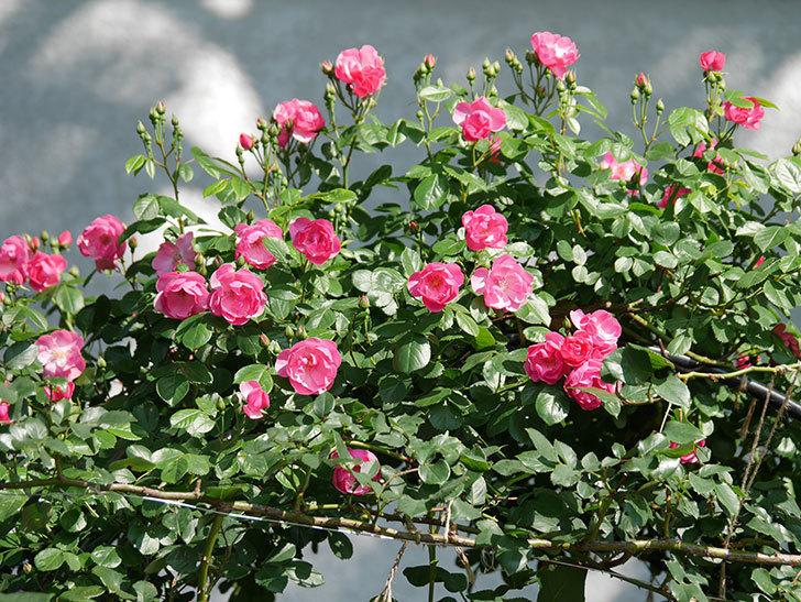 アンジェラ(ツルバラ)の花が増えてきた。2018年-25.jpg