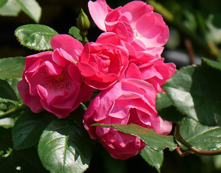 アンジェラ(ツルバラ)の花が増えてきた。2018年-27.jpg