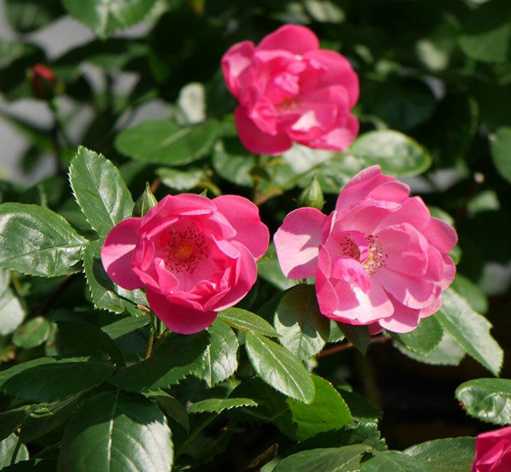 アンジェラ(ツルバラ)の花が増えてきた。2018年-28.jpg