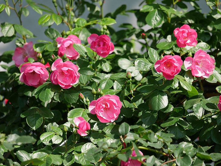 アンジェラ(ツルバラ)の花が増えてきた。2018年-29.jpg