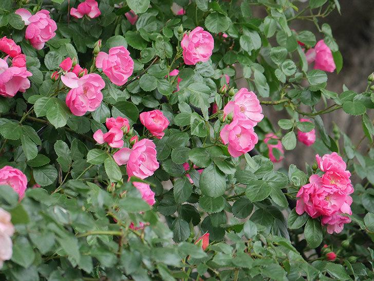 アンジェラ(ツルバラ)の花が増えてきた。2018年-3.jpg