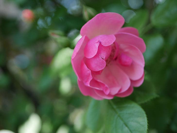 アンジェラ(ツルバラ)の花が増えてきた。2018年-30.jpg
