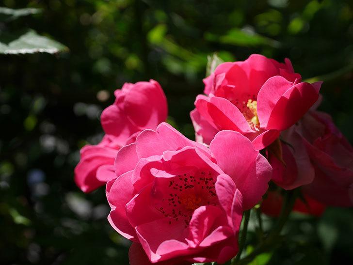 アンジェラ(ツルバラ)の花が増えてきた。2018年-33.jpg