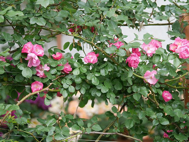 アンジェラ(ツルバラ)の花が増えてきた。2018年-5.jpg