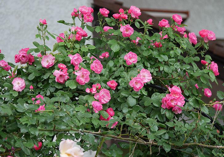 アンジェラ(ツルバラ)の花が増えてきた。2018年-6.jpg