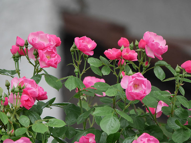 アンジェラ(ツルバラ)の花が増えてきた。2018年-9.jpg