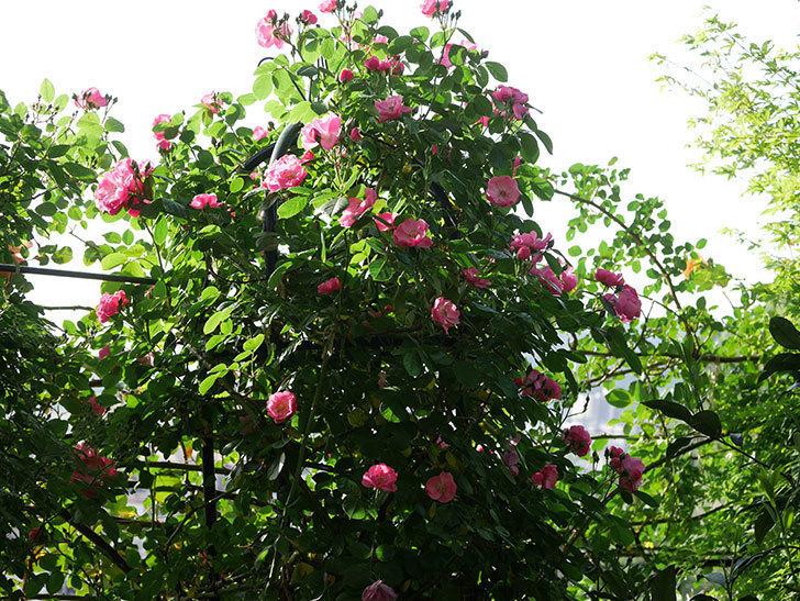 アンジェラ(ツルバラ)の花が増えてきた。2020年-1.jpg