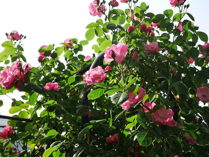 アンジェラ(ツルバラ)の花が増えてきた。2020年-2.jpg
